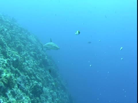 remoras follow a shark as it swims slowly past dozens of other fish along a coral reef. - symbiotiskt förhållande bildbanksvideor och videomaterial från bakom kulisserna