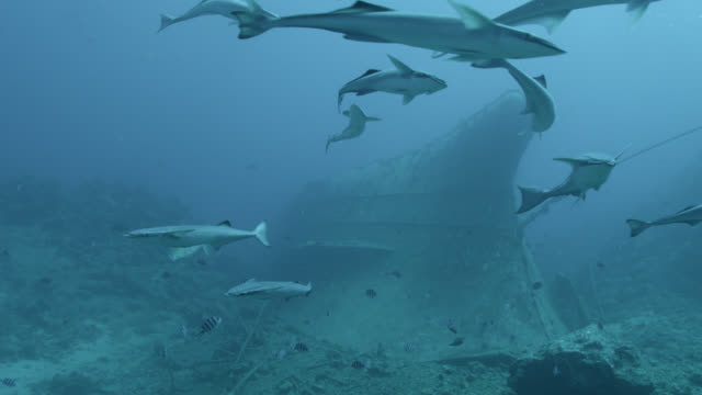 remoras (echeneis naucrates) swim around ship wreck, fiji - remora fish stock videos & royalty-free footage