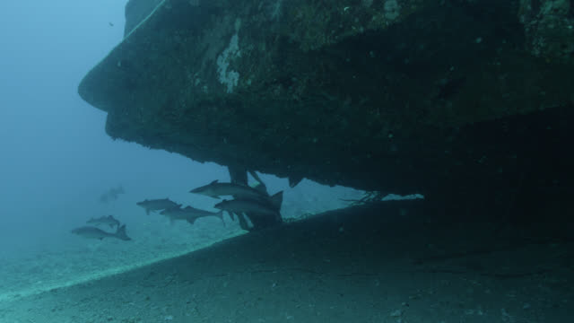 remoras (echeneis naucrates) swim on ship wreck, fiji - remora fish stock videos & royalty-free footage