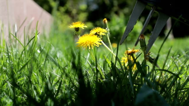 Removing Dandelion from Grass