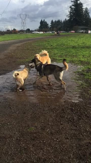 """stockvideo's en b-roll-footage met """"remus the gsd/wolf pup plays in a puddle with friends at his favorite park. bath time coming up!"""" - genomen met mobiel apparaat"""
