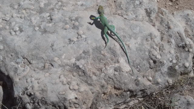 reptile in the wild vibrant colored collared lizard in western colorado desert environment 4k video - reptile stock videos & royalty-free footage