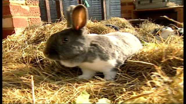 rescue centre warns not to buy rabbits for easter rabbit in enclosure eating cabbage leaf lesley collins sitting with rabbits in enclosure close shot... - crucifers stock videos & royalty-free footage