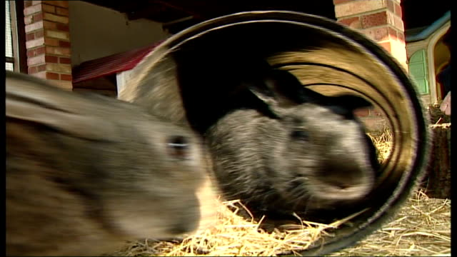 rescue centre warns not to buy rabbits for easter rabbits in enclosure sitting in pipe eating one rabbit nibbling at chocolate rabbit - enclosure stock videos & royalty-free footage