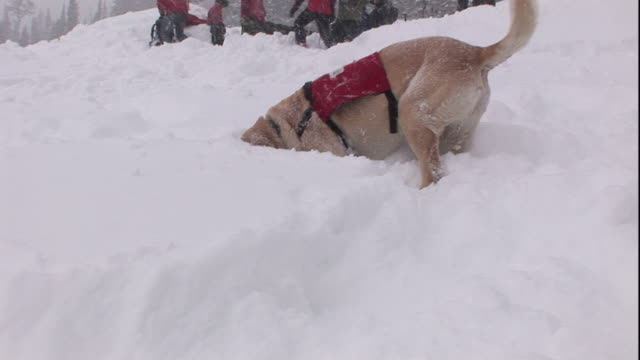 a rescue dog searches a snow drift. - canine stock videos & royalty-free footage