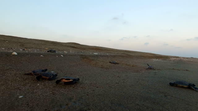stockvideo's en b-roll-footage met rescued baby green sea turtles move towards the sea after being released by wwf staff after being rescued the previous day from a nest site at... - red sea
