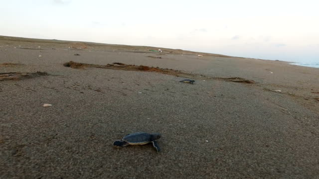 stockvideo's en b-roll-footage met rescued baby green sea turtles move towards the sea after being released by wwf staff after being rescued the previous day from a nest site at... - schildpad