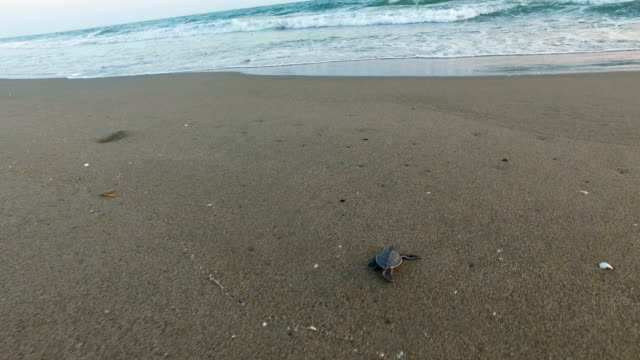 rescued baby green sea turtles move towards the sea after being released by wwf staff after being rescued the previous day from a nest site at... - sköldpadda bildbanksvideor och videomaterial från bakom kulisserna