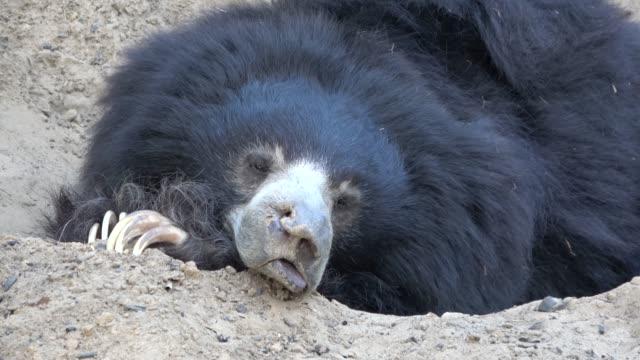 vidéos et rushes de rescued dancing sloth bear now enjoys the peaceful life at beautiful sanctuary - dancing bear