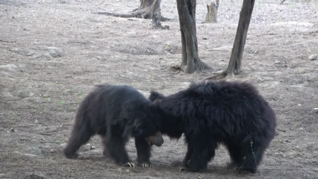 vidéos et rushes de rescued dancing sloth bears have found joy and a second chance - dancing bear