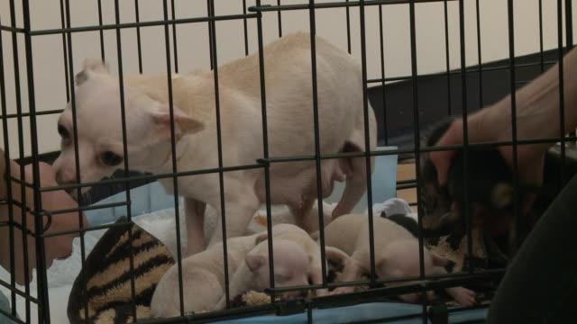 Rescued female chihuahua with a litter of puppies at PAWS in Chicago on April 13 2015 More than 80 animals were rescued from a puppy mill in Kankakee...