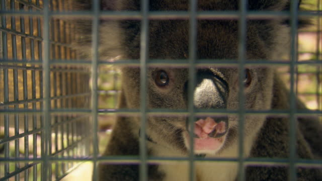 A rescued koala sits in a cage.