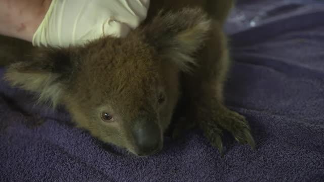 vídeos y material grabado en eventos de stock de rescued koalas on kangaroo island after intense bush fires - rescate