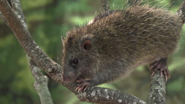 rescued ryukyu long-haired rat, okinawa, japan - okinawa prefecture stock videos & royalty-free footage
