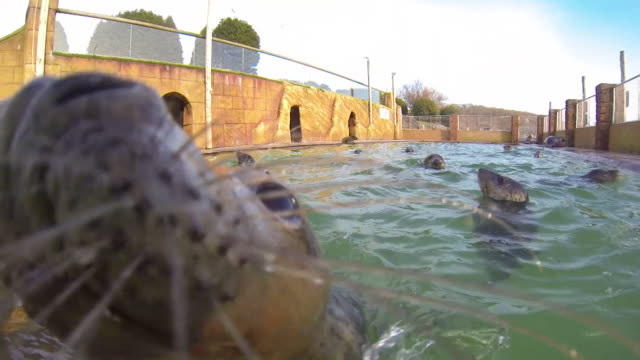 rescued seal pups swimming at a sanctuary in cornwall - seals stock videos and b-roll footage