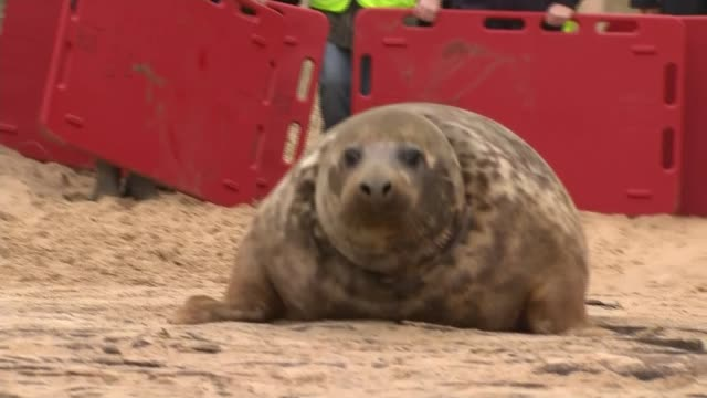 rescued seal released back into the wild in norfolk england norfolk horsey gap ext seal being let out of trailer by rspca / hopping out / guided... - horsey england bildbanksvideor och videomaterial från bakom kulisserna