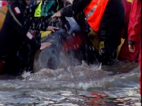 stockvideo's en b-roll-footage met rescuers move bottlenose whale stuck in river thames onto inflatable harness london 25 jan 06 - cetacea