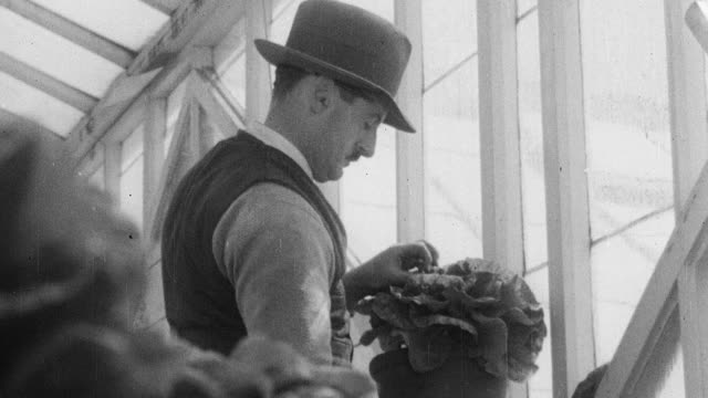 montage research gardener tending to potted lettuce in a greenhouse / england, united kingdom - orticoltura video stock e b–roll