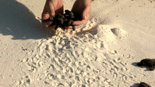 a research scientist's hands releases hawksbill turtle hatchlings onto a beach. - seychelles stock videos & royalty-free footage