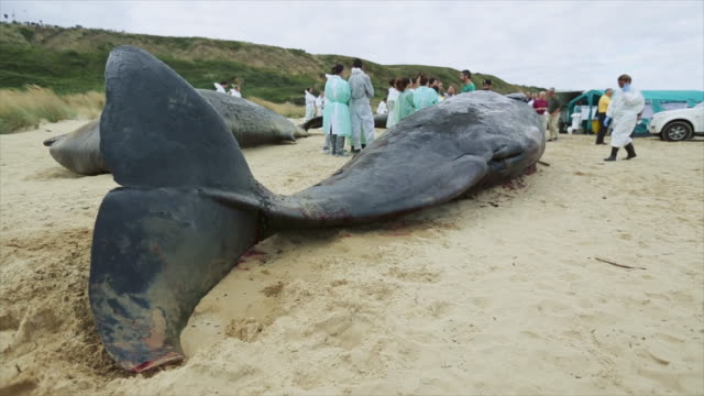 research team at work on stranded sperm whales - grey colour stock videos & royalty-free footage