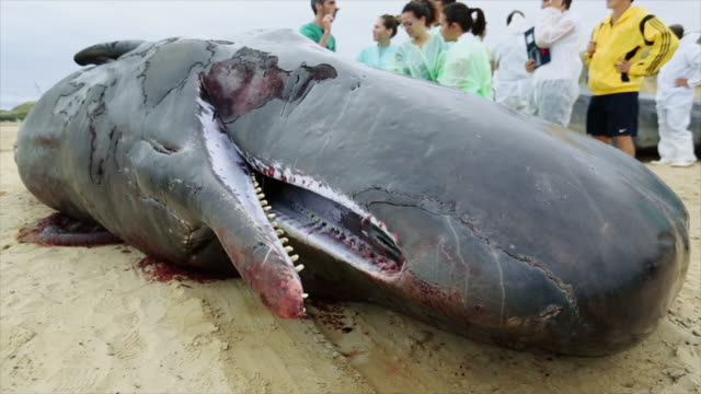 research team at work on stranded sperm whales - sperm whale stock videos & royalty-free footage