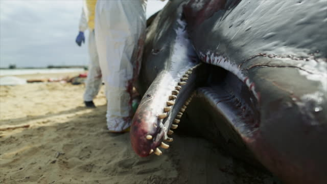 research team at work on stranded sperm whales - vier tiere stock-videos und b-roll-filmmaterial