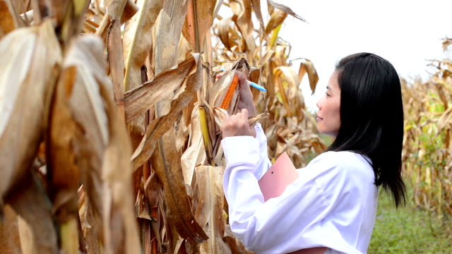 Researcher in corn field