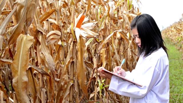 ricercatore nel campo di mais - pensionati lavoratori video stock e b–roll