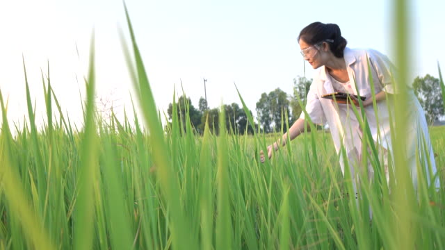 researcher in the jasmine rice field - research stock videos & royalty-free footage
