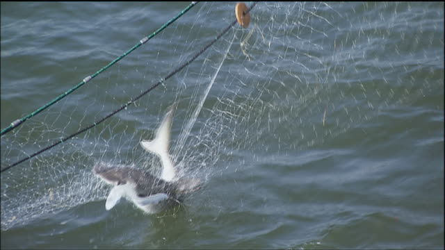 zo researchers capturing small shark in net and pulling it aboard trawler / sarasota, florida, united states - fishing net stock videos & royalty-free footage