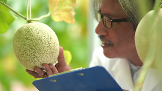 researchers tested sweetness of the melon crop varieties for research and development , gmo food , biofood concept - genetic modification stock videos & royalty-free footage