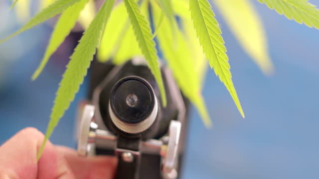 Erforschung der Cannabis-Pflanze mit Mikroskop