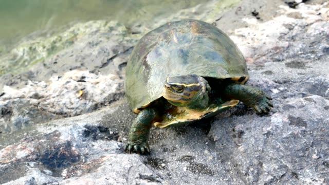 vidéos et rushes de refaçonner la tortue de l'eau pour obtenir le soleil. - lenteur