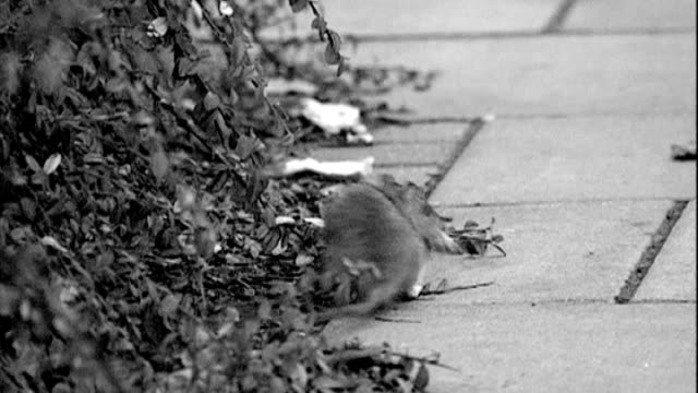 residents complain about rat infestation following death of elderly woman t07030803 sequence of rats on street - infestation stock-videos und b-roll-filmmaterial