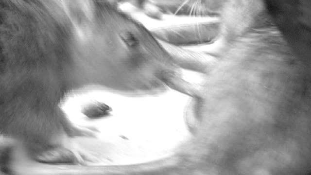 residents complain about rat infestation following death of elderly woman t07030803 b/w close shots rats - infestation stock-videos und b-roll-filmmaterial