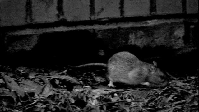 residents complain about rat infestation following death of elderly woman t07030803 b/w rat - infestation stock videos & royalty-free footage