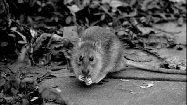residents complain about rat infestation following death of elderly woman t07030803 b/w rat nibbling food - infestation stock videos & royalty-free footage