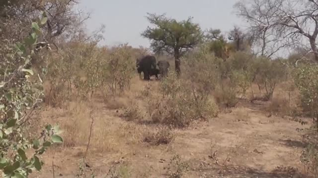 stockvideo's en b-roll-footage met residents of bougai village in the north of cameroon are struggling to deal with the issue of hungry elephants marauding through their crops - hongerig