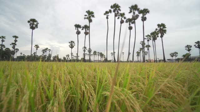 vídeos de stock e filmes b-roll de 4k resolution b-roll taken in a paddy field harvesting season. the rice before harvest - agrafo