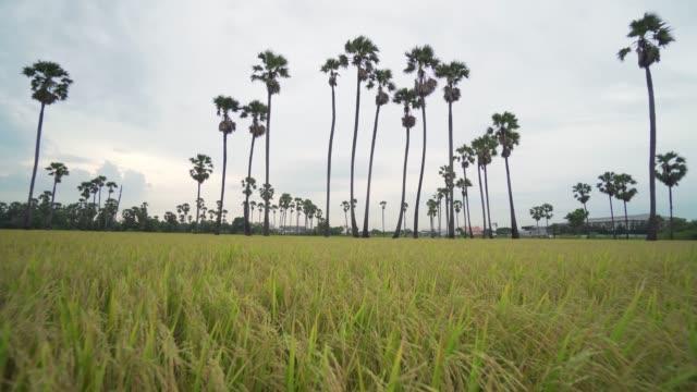 4k ディゾリューションbロールは、水田の収穫期に撮影しました。収穫前の米 - ホッチキス点の映像素材/bロール