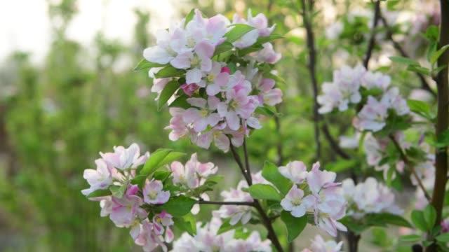 vídeos de stock e filmes b-roll de 4k resolution, flowering crabapple tree in the spring - pistilo
