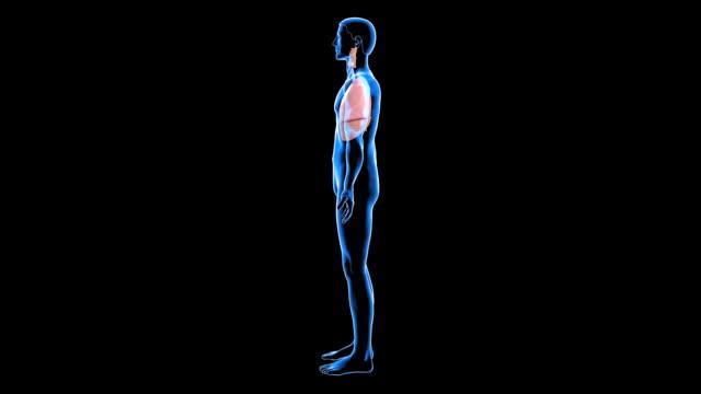 vídeos de stock e filmes b-roll de respiratory system - figura masculina