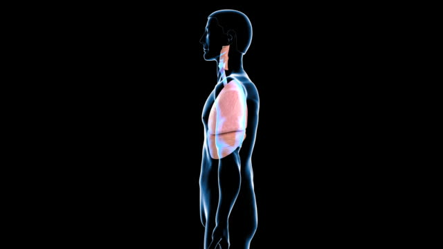 stockvideo's en b-roll-footage met respiratory system - biomedische illustratie