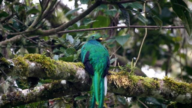 Resplendent Quetzal -Amazing quetzal in the wild, Costa Rica