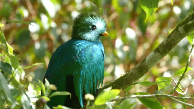 resplendent quetzal -amazing quetzal in the wild, costa rica - 40 seconds or greater stock videos & royalty-free footage