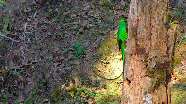 resplendent quetzal flies from perch to nest hole, looks into nest, enters nest, central america, costa rica - tropiskt träd bildbanksvideor och videomaterial från bakom kulisserna