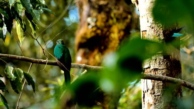 strålande quetzal från costa rica - tropiskt träd bildbanksvideor och videomaterial från bakom kulisserna