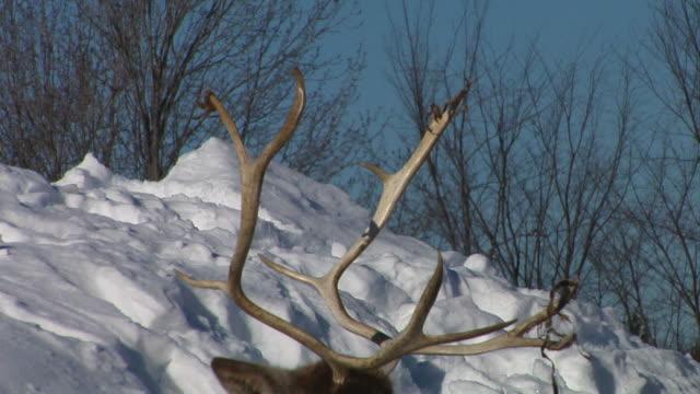 resting caribou