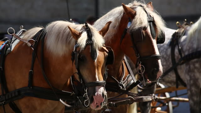 cu resting carriages horses on residenzplatz in salzburg - horsedrawn stock videos & royalty-free footage