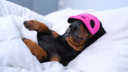 Resting dog dachshund lying down on a white pillow and we see only animal head